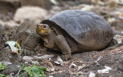 En Galápagos encuentran una tortuga gigante que se creía extinta